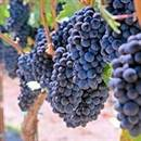Merlot Grape Vine