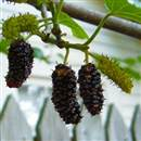 Persian Mulberry Tree