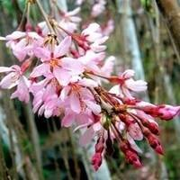 Pink Flowering Peach Tree