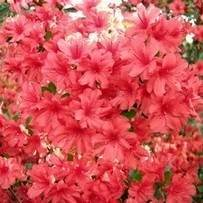 Pride of Mobile Formosa Azalea Shrub