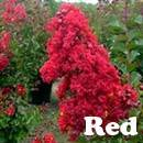 Red Rocket Crape Myrtle Tree