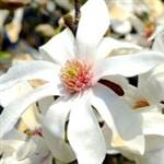 Saucer White' Japanese Flowering Magnolia Tree