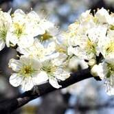 White Flowering Plum Tree