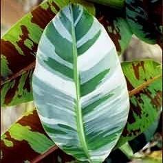 White Variegated Banana Plant