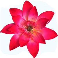 Gum Paste Tranquil Water Lily - Hot Pink