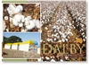 Cotton, The world's most popular fibre - Standard Postcard  DAL-472