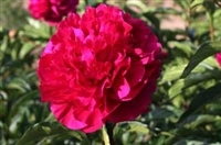 Accent, a double red peony