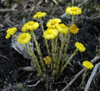 Organic Coltsfoot