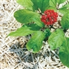 Ginseng Chinese Red Powder: Bulk / Ginseng Chinese Red Powder