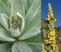Wildcrafted Mullein Leaf