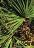 Organic Saw Palmetto, Cut & Sifted