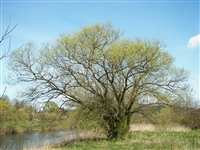 White Willow bark: Bulk / Organic White Willow bark