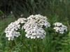 Organic Yarrow Leaf & Flowers
