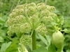 Angelica Root: Bulk / Organic Angelica Root, Cut & Sifted
