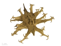 Devil's Claw Root Powder: Bulk / Organic Devil's Claw Root Powder