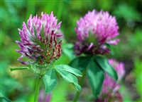 Organic Red Clover Blossoms