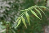 Organic Neem Leaves