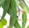 Eucalyptus Essential Oil: Amber Bottle / Essential Oil: 10 mL