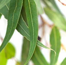 Eucalyptus Essential Oil (Organic): Amber Bottle / Essential Oil: 10 mL
