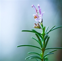 Rosemary Essential Oil: Amber Bottle / Essential Oil: 10 mL