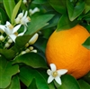 Sweet Orange Essential Oil: Amber Bottle / Essential Oil: 10 mL