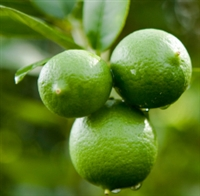 Lime Essential Oil: Amber Bottle / Essential Oil: 10 mL