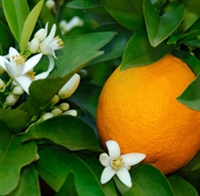 Neroli Essential Oil (3%): Amber Bottle / Essential Oil: 10 mL