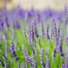 Lavender, English, Essential Oil Compound: Amber Bottle / Essential Oil: 10 mL