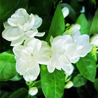Jasmine, Egyptian Essential Oil Compound: Amber Bottle / Essential Oil: 10 mL