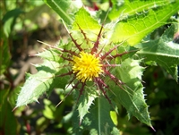 Organic Blessed Thistle