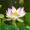 Lotus Blossom Fragrance Oil: Amber Bottle / Fragrance Oil: 10 mL