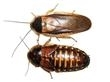 100 Large - Dubia Roaches