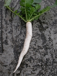 Mino Early Daikon