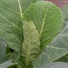 Myatts Offenham Cabbage