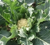 Nine Star Perennial Broccoli