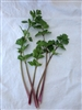 Red Stemmed Leaf celery