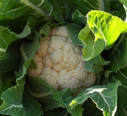 Winter Roscoff Cauliflower