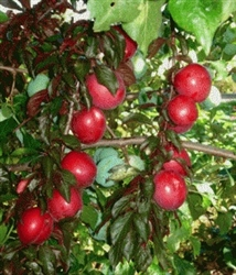 Georgia Red Plum