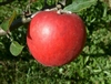 Limbertwig Apple