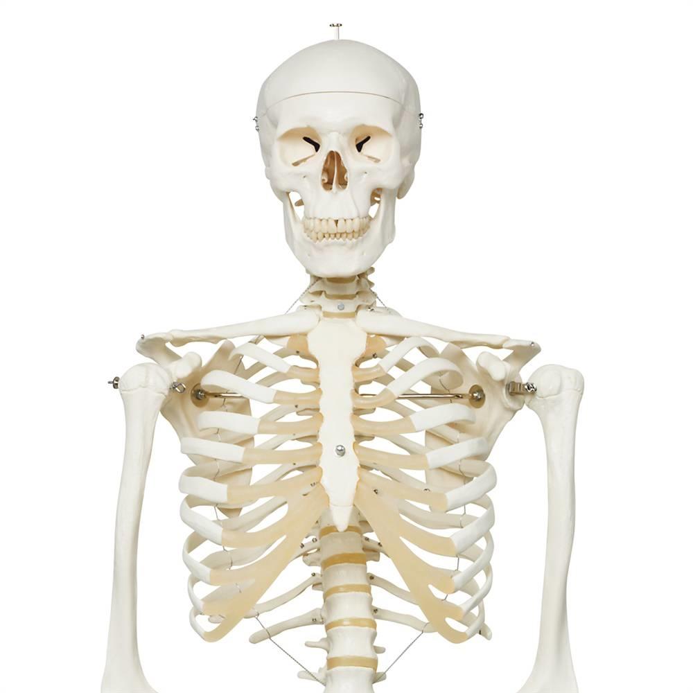 skeleton model stan | anatomical skeleton model, Skeleton