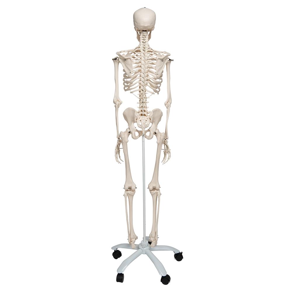 human skeleton model stan | anatomical skeleton model, Skeleton