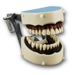 Articulated Dental Hygiene Dentoform | Dental Hygiene Dentoform | Dental Hygiene Model | dental hygiene and patient oral hygiene Model | patient oral hygiene Trainer | patient oral hygiene Simulator | Oral Hygiene Simulator | Oral Hygiene Model