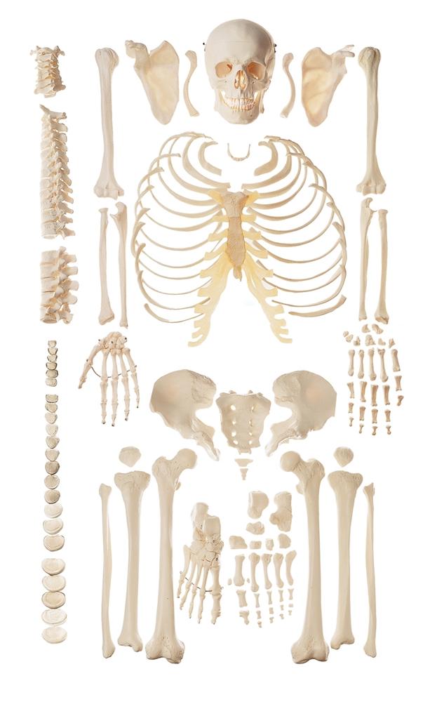 somso unmounted human skeleton model, Skeleton