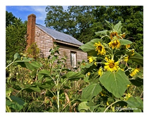 Fine Art Giclee Print - 'Little Pink House - Sunflower'