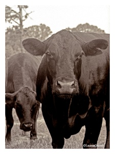 Fine Art Giclee Print - 'Black Cow'