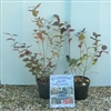 special offer blueberry plants