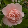 Camellia williamsii hybrid Toni Finlay's Fragrant