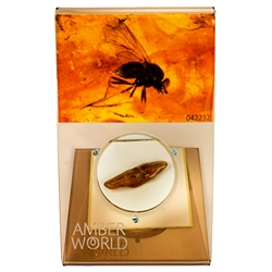 "Trapped in amber approximately 50 million years ago this is a fine example of a fly from ages ago. This very fine piece was found in Lithuanuia, weighs 1.3 grams, measures approx 1.5"" x .5"" and is mounted on an acrylic display with magnifying glass."