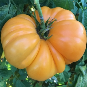 Amana Orange Heirloom Tomato