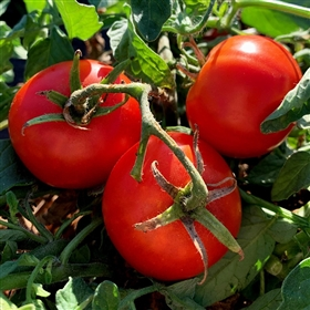 Aurora Tomato